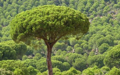 Plant of the week: Italian Stone Pine